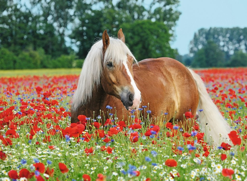 horse in the poppy field